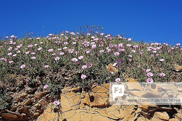 Mallow bindweed (Convolvulus althaeoides) is a climbing perennial herb native to Mediterranean Basin but naturalized in California. This photo was taken in Cabo Creus Natural Park  Emporda  Girona  Catalonia  Spain.