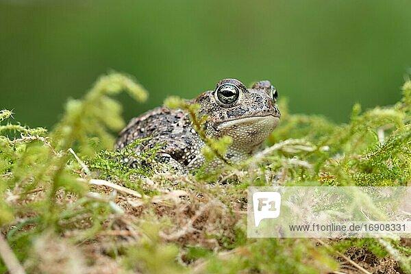 Kreuzkröte (Bufo calamita)  versteckt in Moos  Velbert  Nordrhein-Westfalen  Deutschland  Europa
