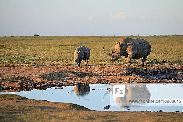 Two white rhinos (Ceratotherium simum) at a waterhole  reflection  Solio Ranch Wildlife Sanctuary  Kenya  Africa