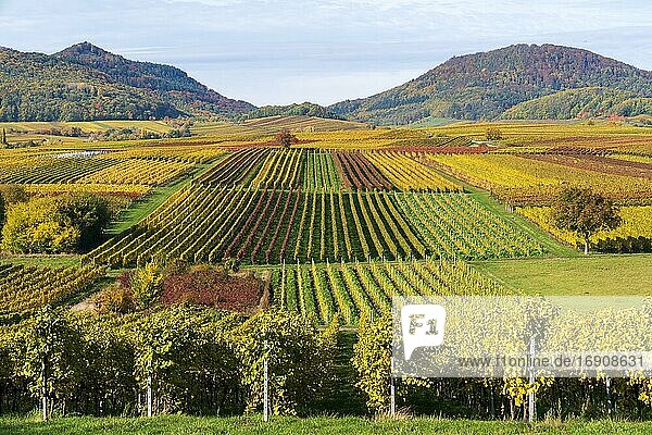 Vineyards in autumn colours  near Landau in der Pfalz  Southern Wine Route  Rhineland-Palatinate  Germany  Europe
