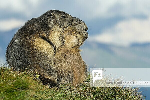 Marmot (Marmota marmota) in the Alps  ungulate with adult  mother and child  Hohe Tauern National Park  Austria  Europe