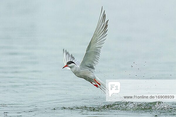Common tern (Sterna hirundo) in flight while fishing  Banter See  Wilhelmshaven  Lower Saxony  Germany  Europe
