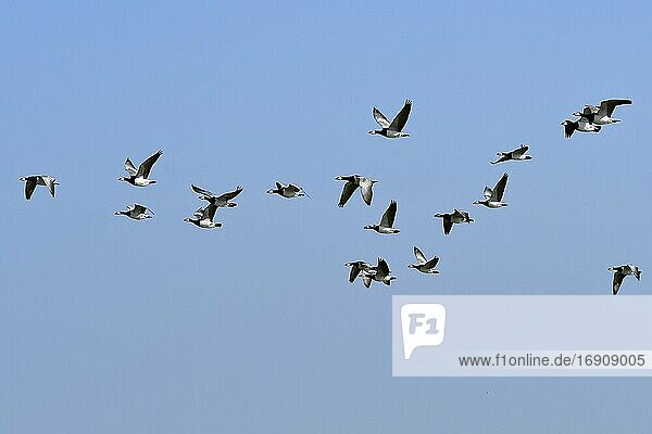Barnacle geese (Branta leucopsis)  flock of birds flying  Emsland  Lower Saxony  Germany  Europe