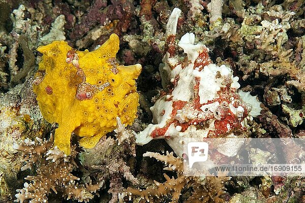 Spotted frogfish (Antennarius maculatus) in reef  Indian Ocean