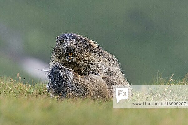 Marmots (Marmota marmota) in the Alps  mating  play  Hohe Tauern National Park  Austria  Europe