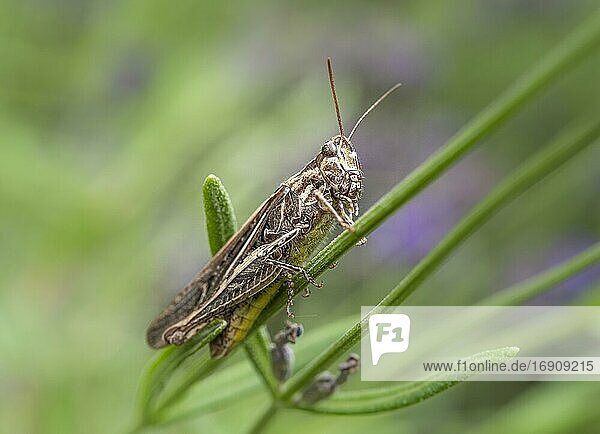 Common Field Grasshopper (Chorthippus brunneus) on lavender (Lavandula angustifolia)  Germany  Europe