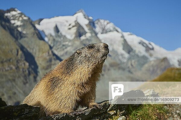 Alpine marmot (Marmota marmota)  sitting on a rock  look out  Mountain backdrop  Grossglockner  High Tauern National Park  Austria  Europe