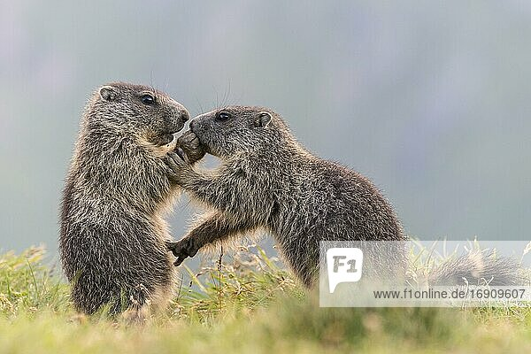 Young marmots (Marmota marmota) in the Alps  Hohe Tauern National Park  Austria  Europe