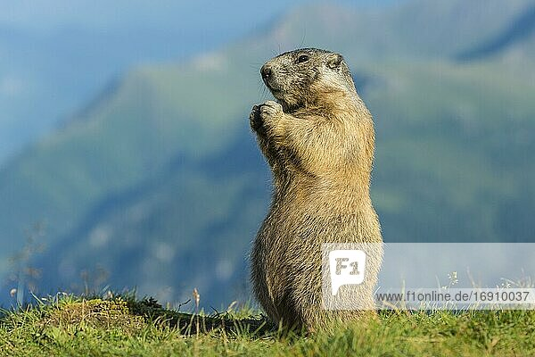 Marmot (Marmota marmota) in the Alps  Hohe Tauern National Park  Austria  Europe