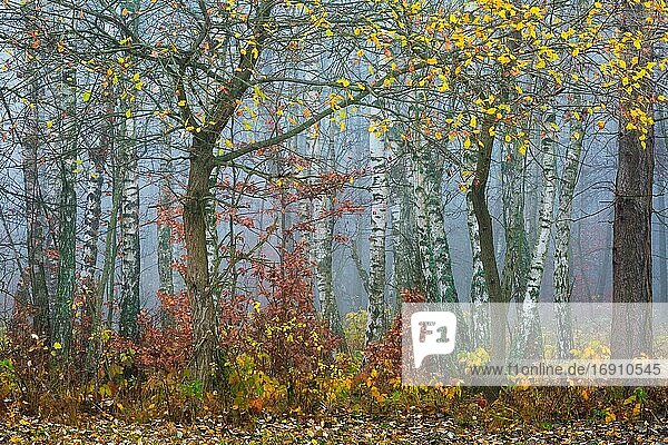 Autumnal woodland in the foothills of Mala Fatra mountain range  Slovakia.