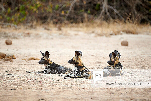 Afrikanische Wildhunde (Lycaon pictus)  South Luangwa Nationalpark  Mfuwe  Sambia  Afrika |pack of African wild dog (Lycaon pictus) or painted dog  South Luangwa National Park  Mfuwe  Zambia  Africa|