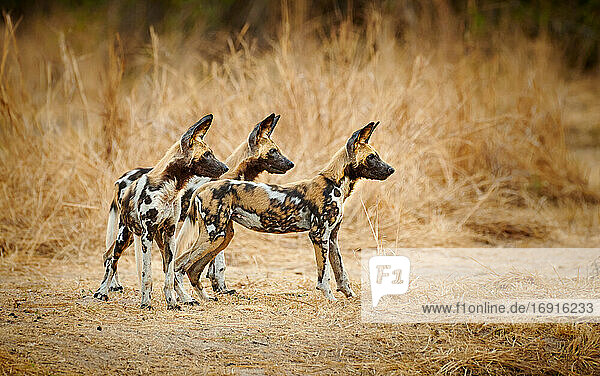 junge Afrikanische Wildhunde (Lycaon pictus)  South Luangwa Nationalpark  Mfuwe  Sambia  Afrika |pack of African wild dog puppies (Lycaon pictus) or painted dog  South Luangwa National Park  Mfuwe  Zambia  Africa|