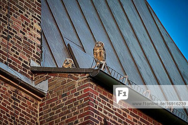 Leopard (Panthera pardus) im Baum liegend  South Luangwa Nationalpark  Mfuwe  Sambia  Afrika  Leopard (Panthera pardus) laying in a tree  South Luangwa National Park  Mfuwe  Zambia  Africa 