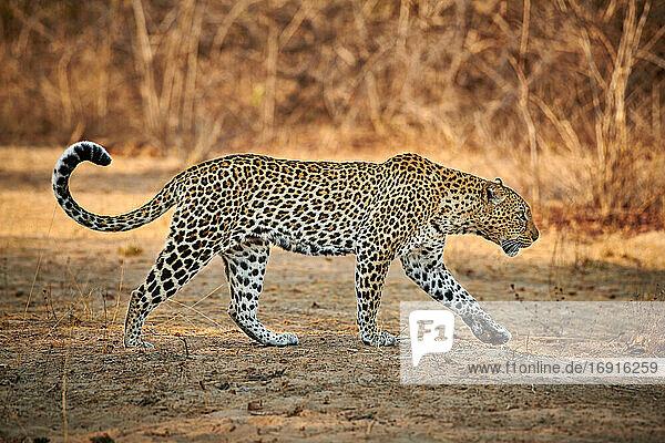 laufender Leopard (Panthera pardus)  South Luangwa Nationalpark  Mfuwe  Sambia  Afrika  walking Leopard (Panthera pardus)  South Luangwa National Park  Mfuwe  Zambia  Africa 