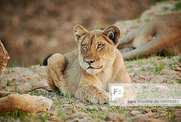 Loewe (Panthera leo) Jungtier  South Luangwa Nationalpark  Mfuwe  Sambia  Afrika  lion cub (Panthera leo)  South Luangwa National Park  Mfuwe  Zambia  Africa 