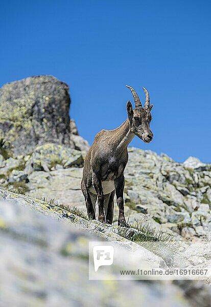 Alpensteinbock (Capra ibex) auf Felsen  blickt nach unten  Mont-Blanc-Massiv  Chamonix  Frankreich  Europa