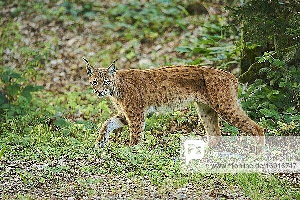 Europäischer Luchs (Lynx lynx) laufend  captive  Nationalpark Bayerischer Wald  Bayern  Deutschland  Europa