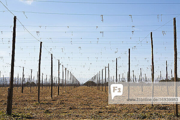 Set of tall posts arranged in rows  with overhead wires  and worked soil  agriculture