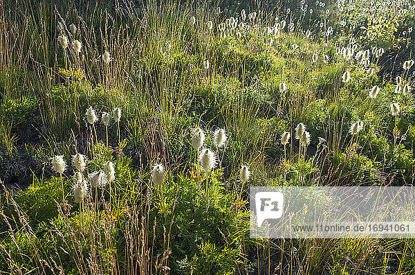 Field of Cotton-grass along the Pacific Crest Trail