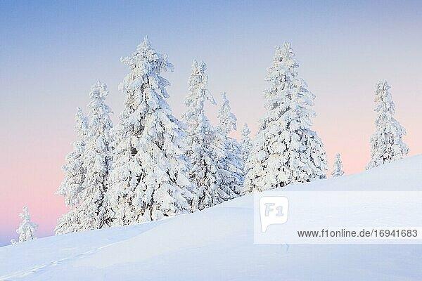 Verschneite Tannenbäume  Schweiz  Europa