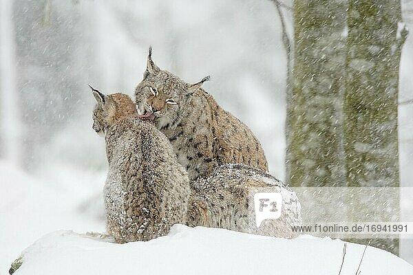 Luchs  Eurasischer Luchs  Europäischer Luchs (Lynx lynx)  European Lynx  im Winter  Bayrischer Wald National Park  Deutschland  Europa