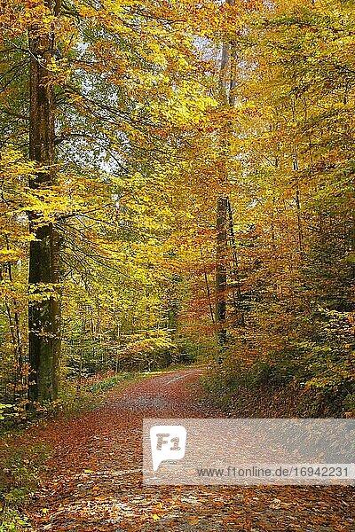 Laub bedeckter Waldweg im Zürcher Oberland  Schweiz  Europa