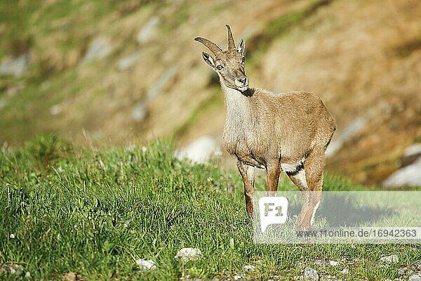 Steingeiss (Capra ibex) (Ibex)  Schweiz  Europa