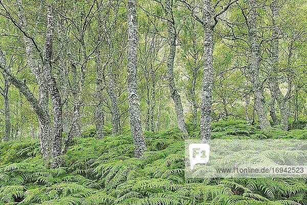 Birkenwald  Craigellachie National Nature Reserve  Schottland  Großbritannien  Europa