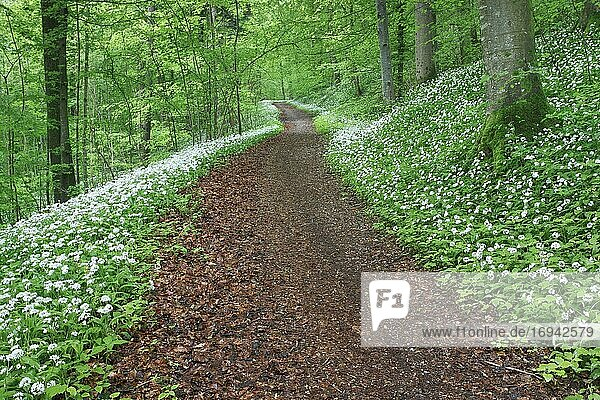 Waldweg mit blühendem Bärlauch  Schweiz  Europa