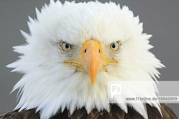 Bald Eagle  Weißkopfseeadler (Haliaeetus leucocephalus)  Homer  Kenai Peninsula  Alaska  USA  Nordamerika
