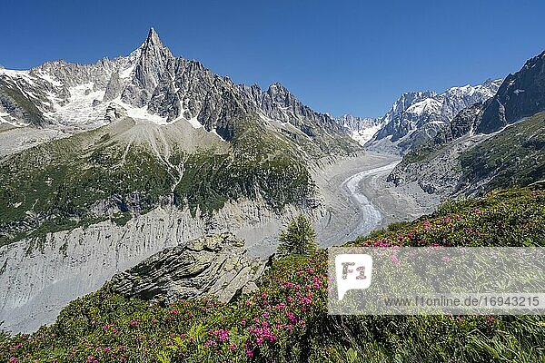 Rosafarbene Alpenrosen am Berghang  Gletscherzunge Mer de Glace  hinten Grandes Jorasses  Mont-Blanc-Massiv  Chamonix  Frankreich  Europa