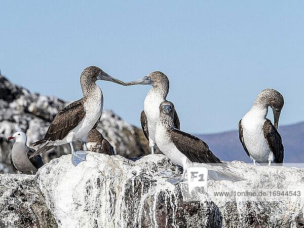 Erwachsene Blaufußtölpel (Sula nebouxi)  Santa Rosalia  Baja California Sur  Mexiko  Nordamerika