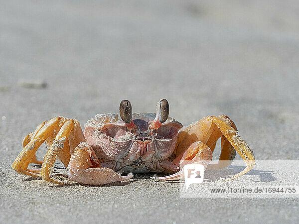 Ausgewachsene Geisterkrabbe (Ocypode spp)  am Strand von Isla Magdalena  Baja California Sur  Mexiko  Nordamerika
