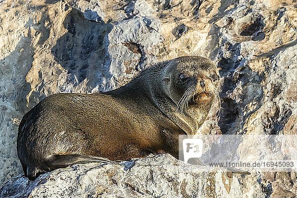 Guadalupe-Pelzrobbe (Arctocephalus townsendi)  ausgestreckt auf Isla Rasita  Baja California  Mexiko  Nordamerika