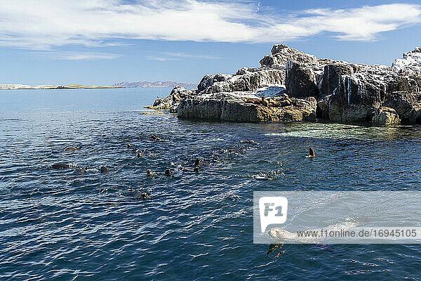 Kalifornische Seelöwen (Zalophus californianus)  in der Nähe eines Riffs im San Jose Kanal  Baja California Sur  Mexiko  Nordamerika