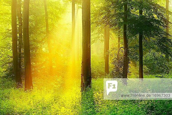 Morgenstimmung im Wald  Die Sonne strahlt durch Morgennebel  Buchenwald  Höhenzug Deister  Niedersächsisches Bergland  Barsinghausen  Niedersachsen  Deutschland  Europa