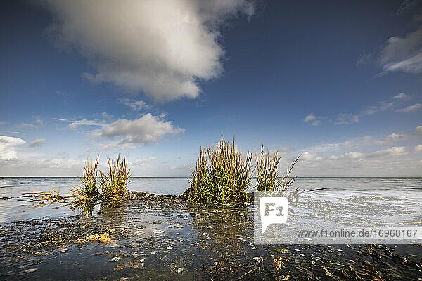 Englisches Schlickgras (Spartina anglica) bei auflaufend Wasser an der Wattenmeerküste vor Keitum/Sylt
