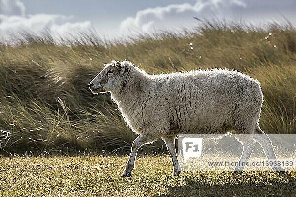 Frei lebendes Schaf auf dem Sylter Ellenbogen