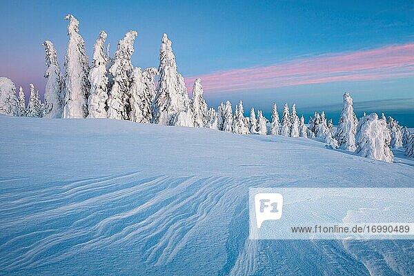 Winter forest in Mala Fatra mountain range  Slovakia.