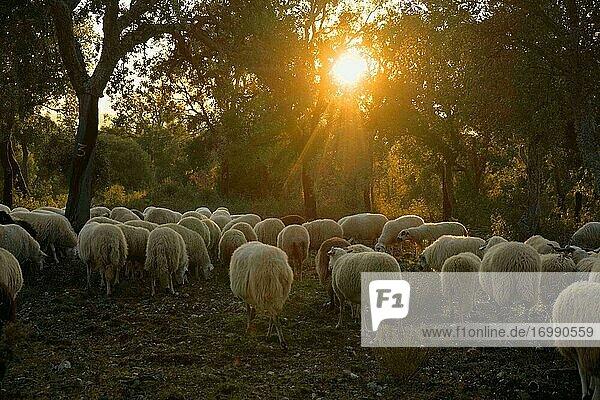 Schafe weiden auf einer Weide in der portugiesischen Hochebene Mirandese.