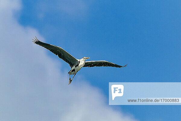 Heron flying in sky at Huraa Island at Maldives