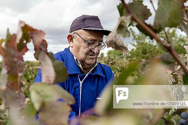 Senior male farmer harvesting in grape farm Senior male farmer harvesting in grape farm