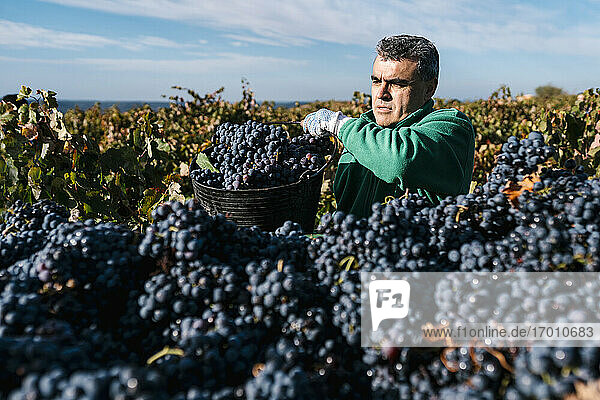 Man pouring black grapes into trailer in vineyard Man pouring black grapes into trailer in vineyard