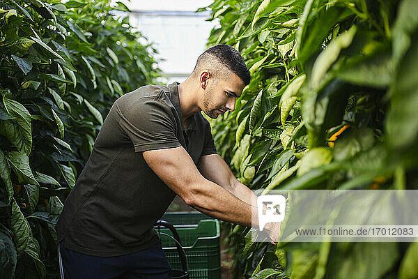 Handsome farmer harvesting vegetable at organic farm