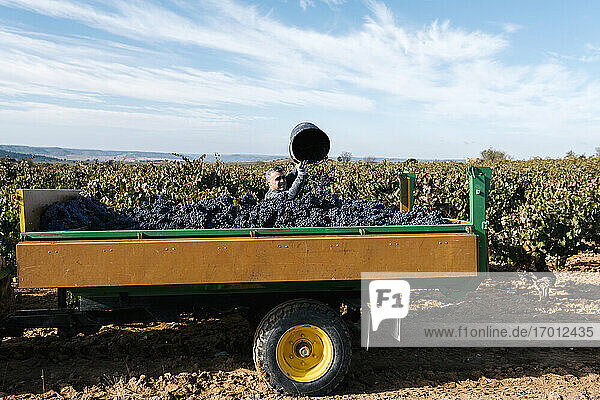 Male farmer pouring grapes in trailer against sky in vineyard Male farmer pouring grapes in trailer against sky in vineyard
