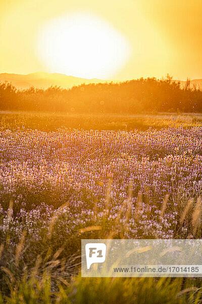 USA  Idaho  Picabo  Blumen auf Wiese bei Sonnenuntergang