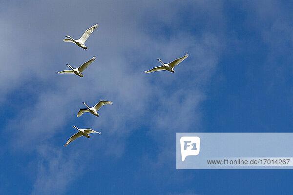 Schwarm Trompeterschwäne (Cygnus buccinator) fliegen gegen blauen Himmel