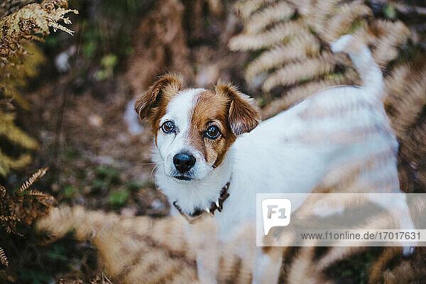 Niedlicher kleiner Hund im Herbstwald stehend