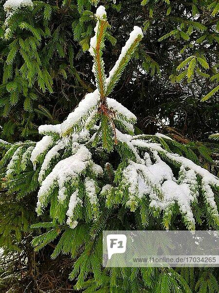 Zweige einer Fichte mit Schnee bedeckt. Winterlicher Hintergrund.