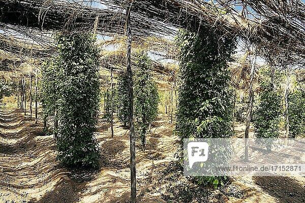 Pfefferkornreben auf einer Bio-Pfefferfarm in der Provinz Kampot  Kambodscha.